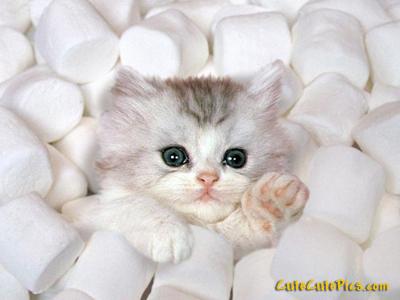 cute-kitten-marshmellows